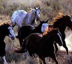 chevaux américains