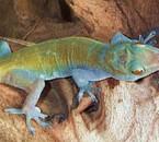 le gecko auratus de mon pote kontontig