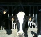 paloma la plus vieille vache du troupeau