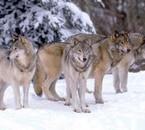 Ma pasion: les Loups Gris