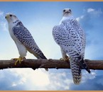 faucon