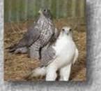 jeune faucon