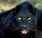 la panthére noir