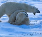 l ours polaire