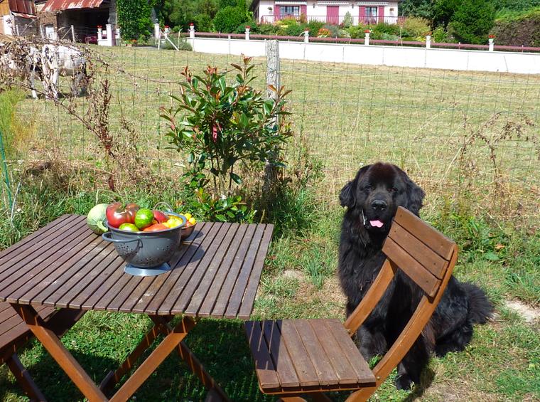 Un chien qui Adooooooore les tomates lol