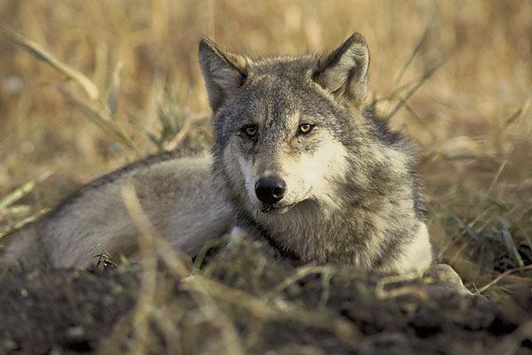 Image d'une louve!