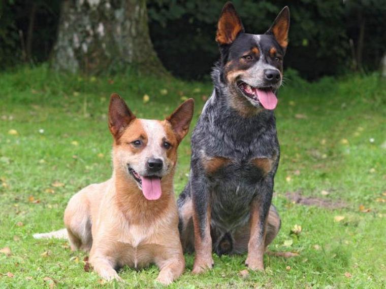 Le Bouvier Australien ou Australian Cattle Dog