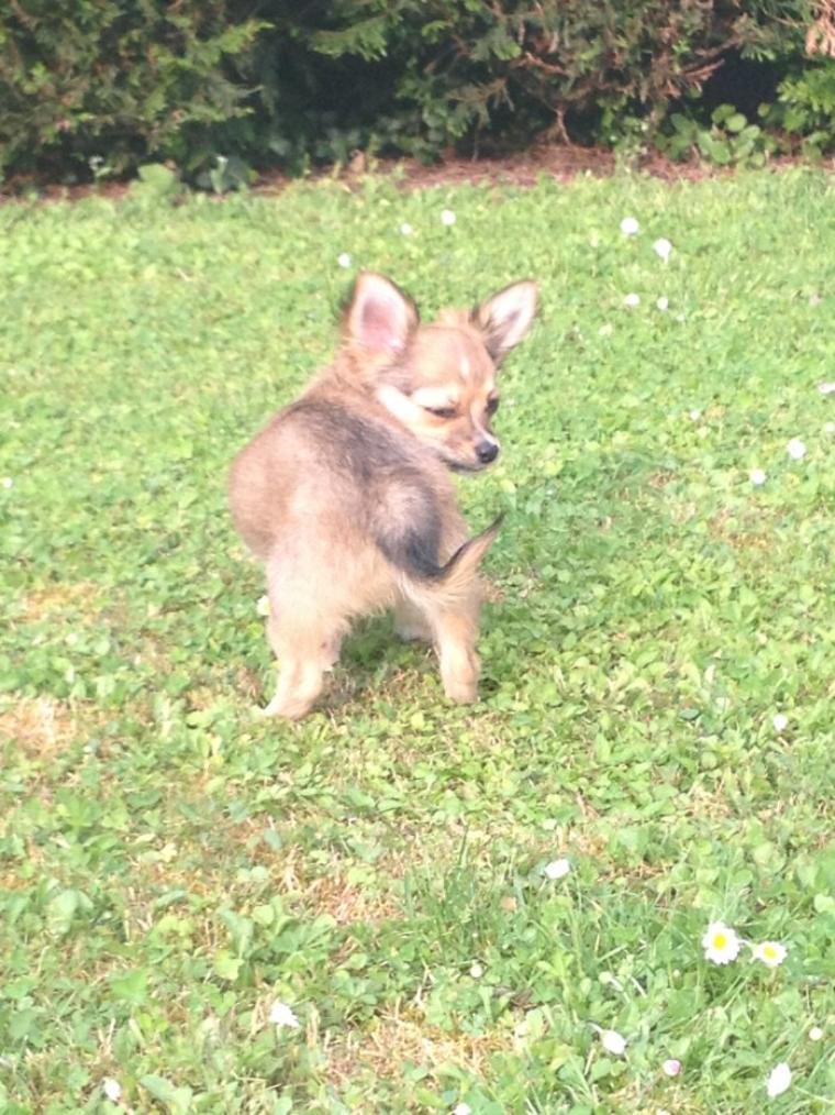 Bonjoirs, bienvenus sur mon blog :) je m'appelle Iron et je suis un chihuahua de 3 mois fauve charbonné :)