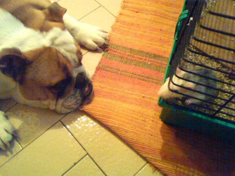 Je vous présente mon premier chien : Charly :) Bouledogue  anglais décédé il y a 4ans a l'âge de 2ans et demi d'un coup de chaleur