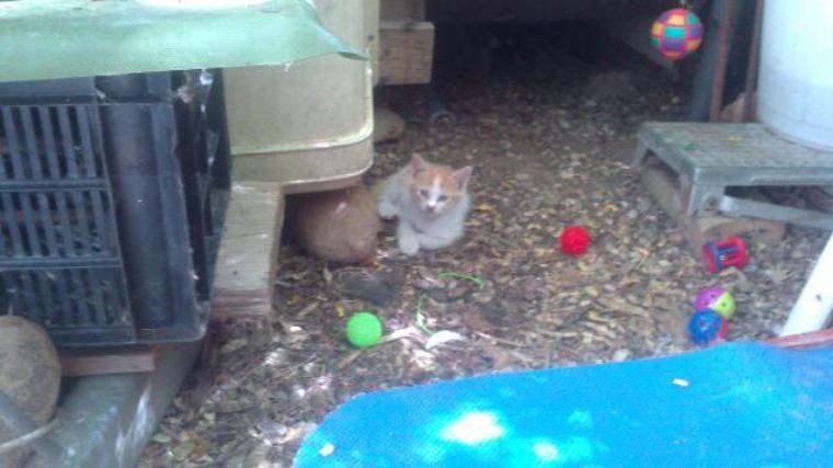 voilà, un des 4 petits chatons de calinette, un beau. ptit roux,