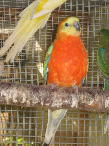 MALE CROUPION OPALINE ORANGE PORTEUR INO
