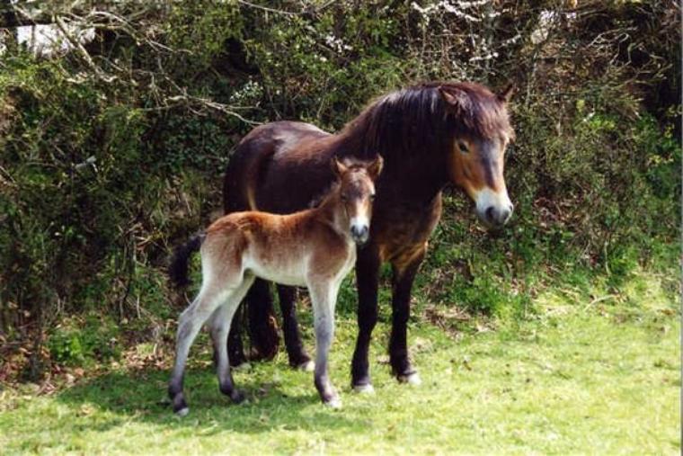 Aujourd'hui voici quelques races de poneys en danger : l'Examoor