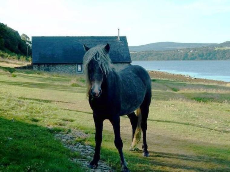 Aujourd'hui voici quelques races de poneys en danger : l'Eriskay