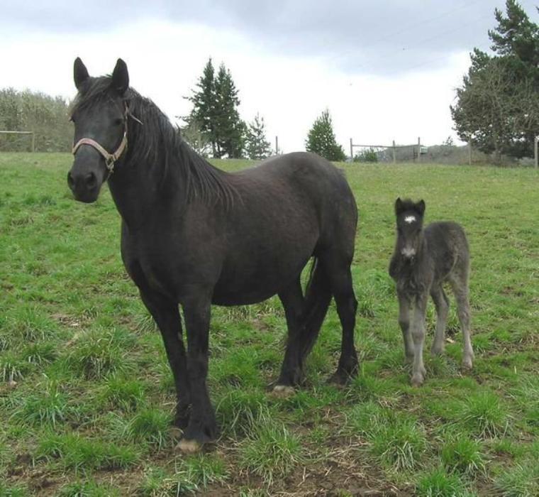 Aujourd'hui voici quelques races de poneys en danger : le Dales