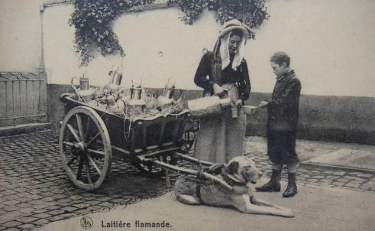Attelage de chiens pour le transport et la vente du lait.