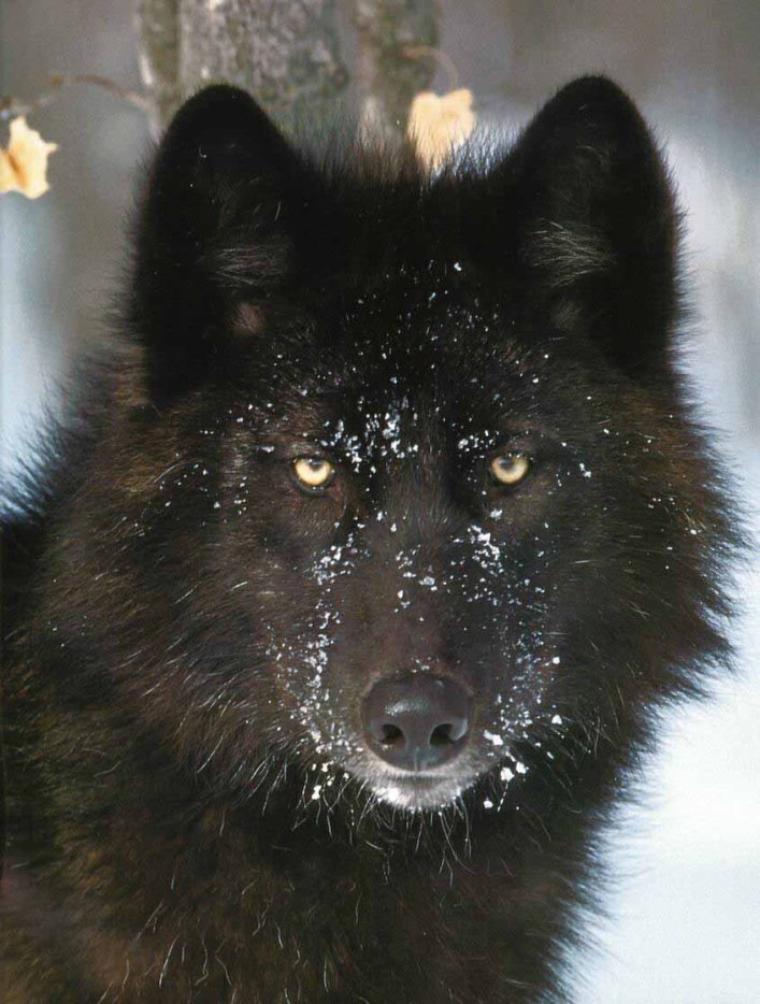 Aujourd'hui, voici un sujet non encore paru dans ce blog, les loups. Pour ma part, je trouve ces animaux très attirants, dommage que les humains leurs ont fait une si mauvaise réputation.
