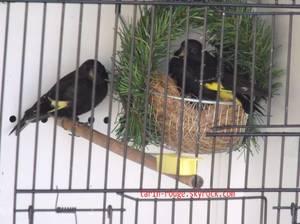 carduelis atrata au nid