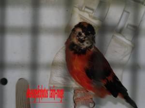 tarin rouge du venezuela a tête panacher