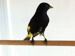 Jeune mâle 2012 carduelis atrata