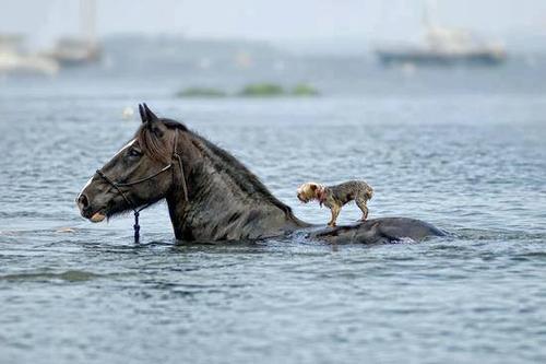 Un cheval qui sauve un chien.