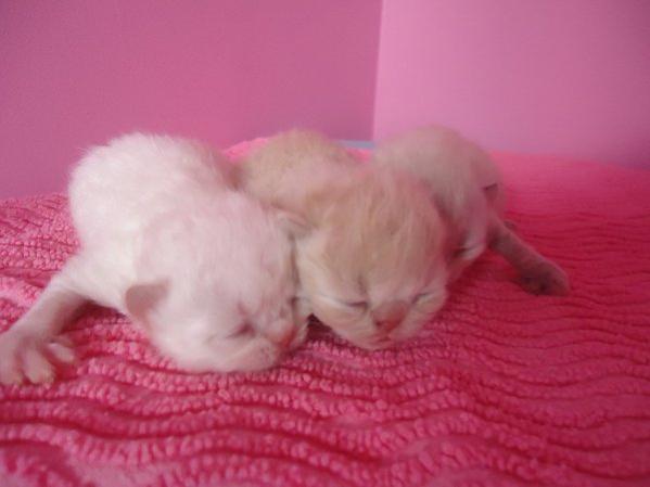 Mes Bébés Chats Persans et Exotics sont nés !!