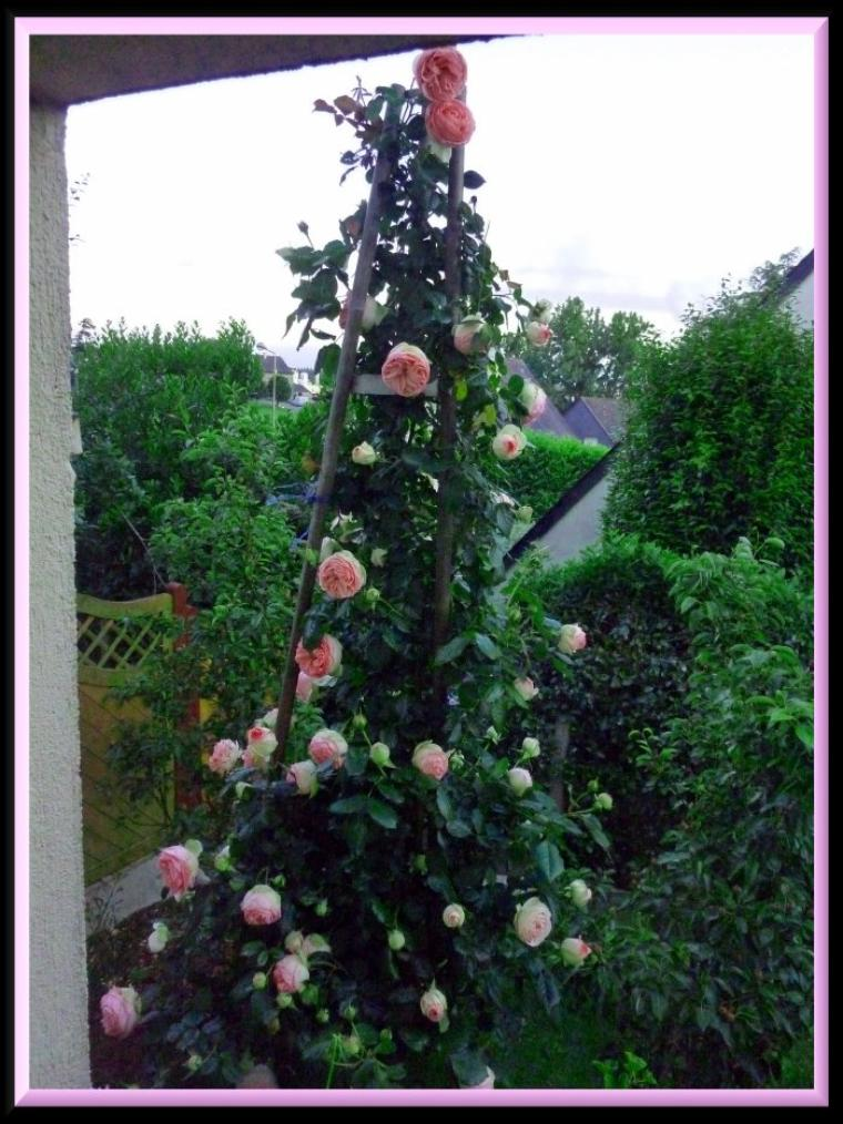De ma fenêtre je profite des belles roses pierre de ronsard