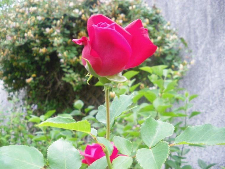 Une rose qui m'inspire… ♪