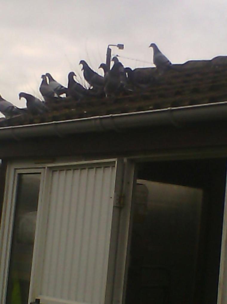 Les pigeonneaux 2016