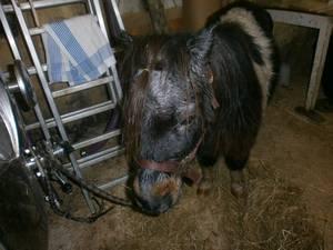 Mon poney d'amour (Pompon)