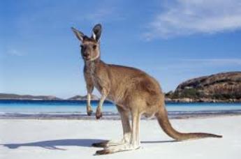 Le kangourou !!