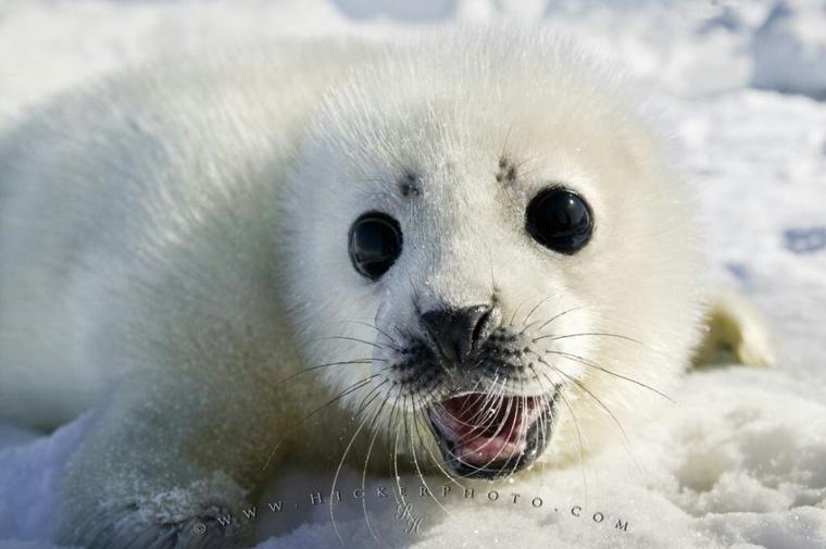 Un beau phoque blanc