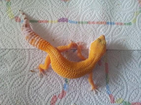 Disponibilité  : Gecko Leopard