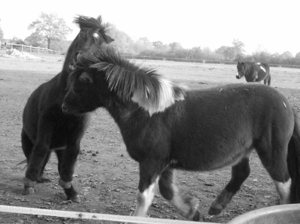 Les poneys qui se morde, nous qui croyons qui se font mal, mais on se trompe ils jouent.
