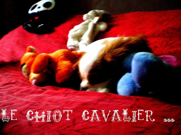 Le cavalier king charles Chiot...