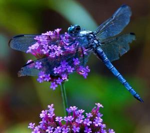 la  libellube