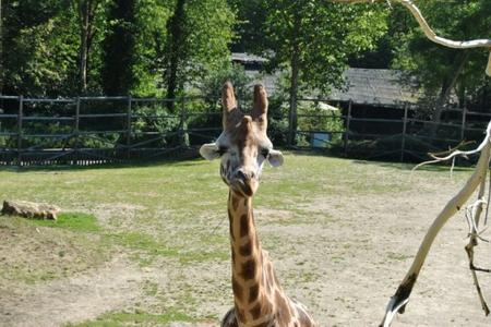 La girafe de Bellewaerde :D