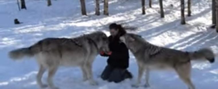 Des loups vivent avec des humains et jouent avec eux!