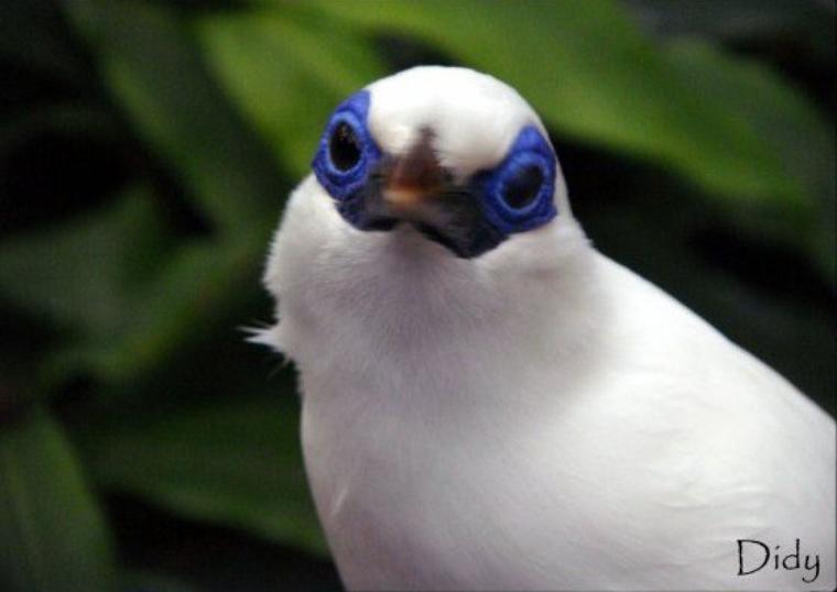 ETOURNEAU DE BALI