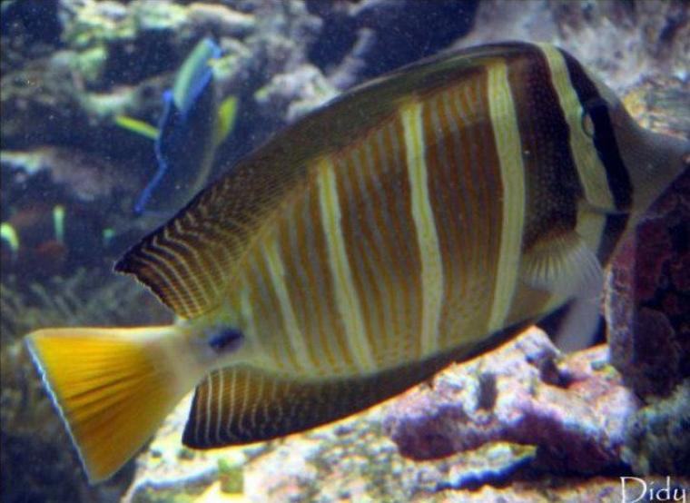 POISSON CHIRURGIEN A VOILE