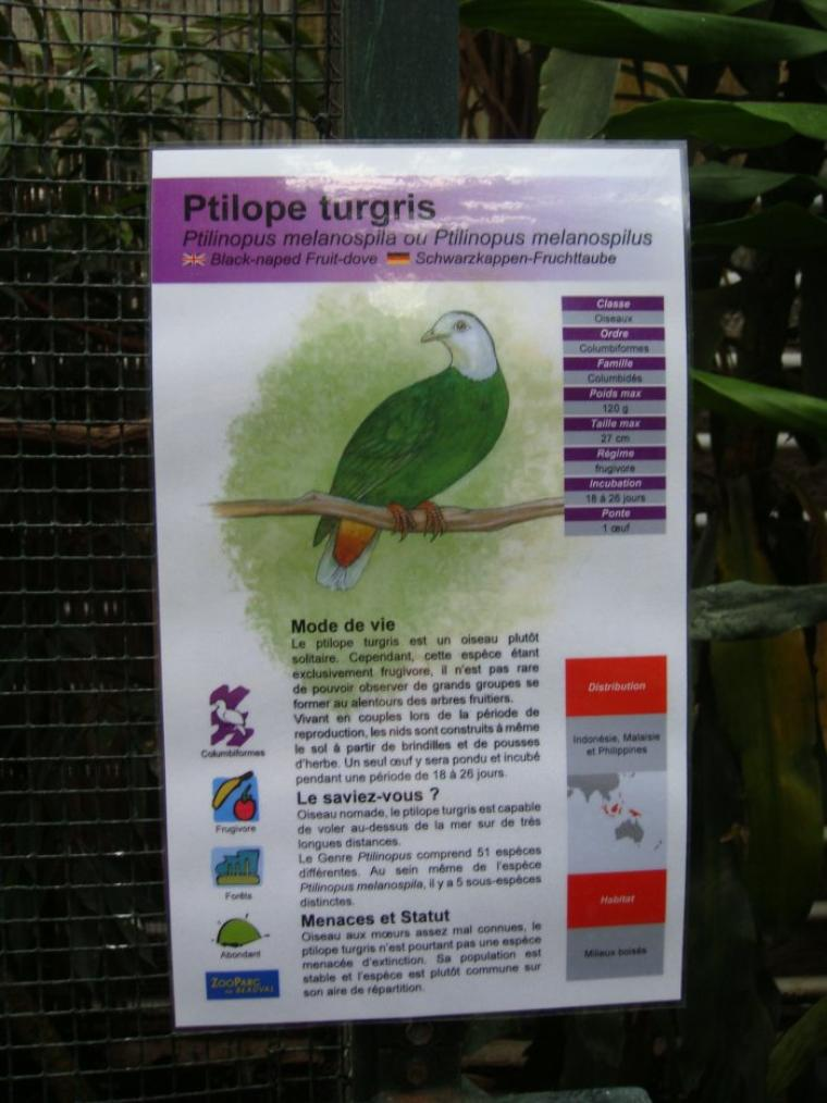PTILOPE TURGRIS