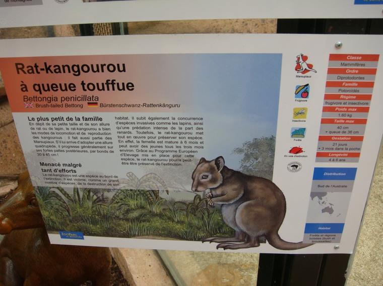 RAT KANGOUROU MUSQUE
