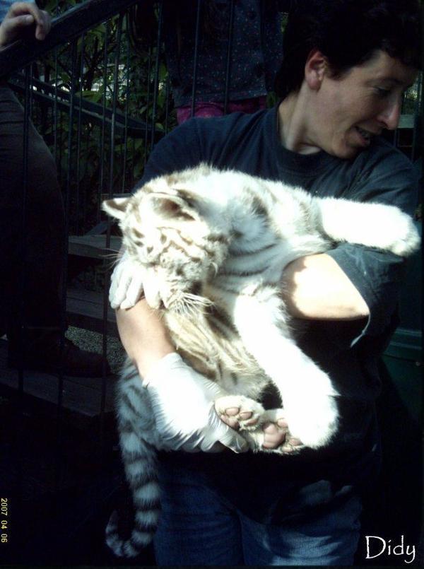 TIGRE BLANC - portée de 2007 (2 bébés)