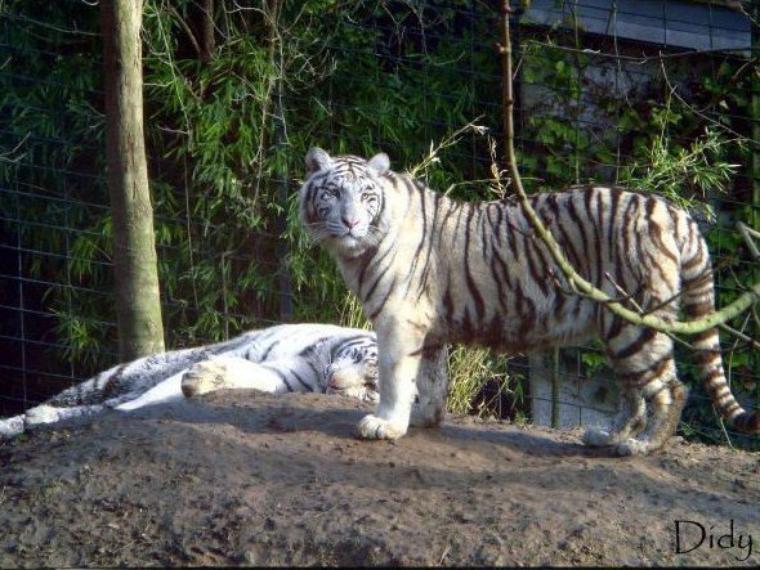 TIGRE BLANC - portée de 2009 (5 bébés)