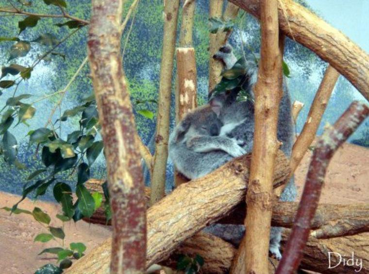 KOALA DU QUEENSLAND - Eora