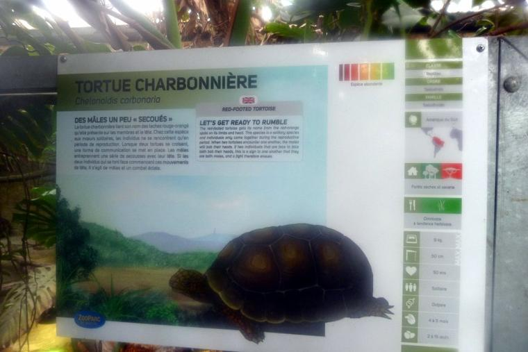 TORTUE CHARBONNIERE