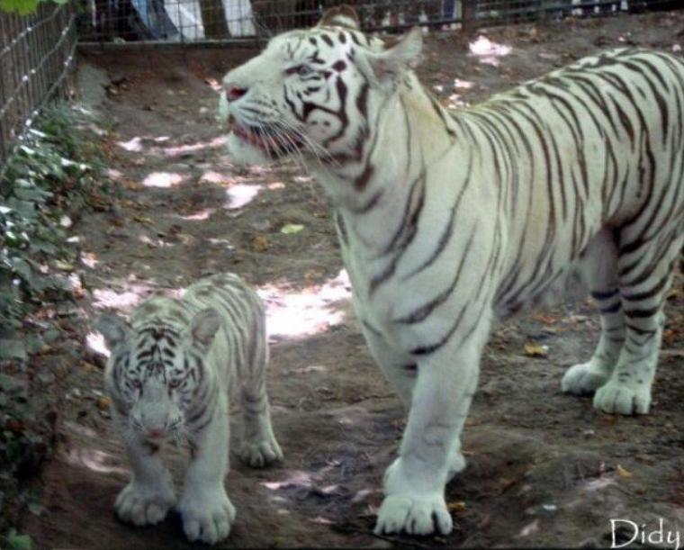 TIGRE BLANC - portée de 2011 (4 bébés)