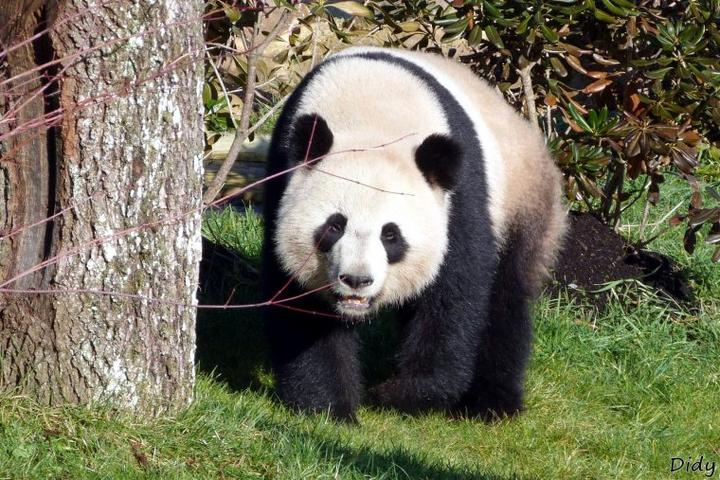 """visite du 19 février 2012 """"spécial pandas géant"""""""