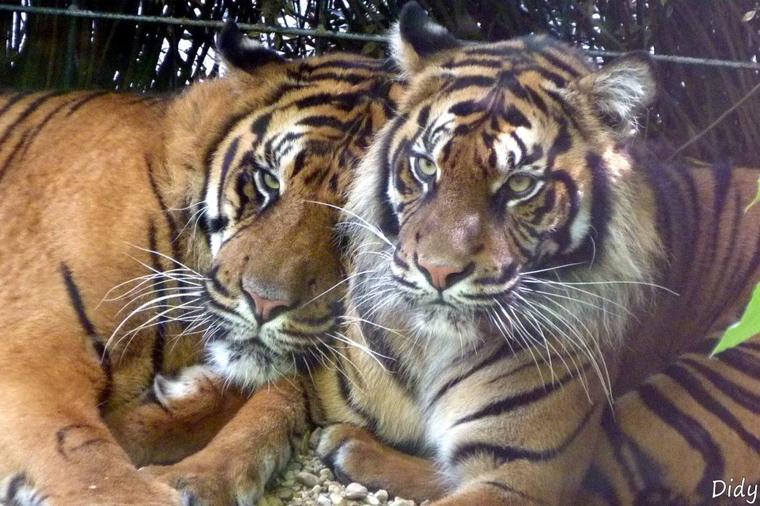 TIGRE DE SUMATRA - nouveau couple 2011