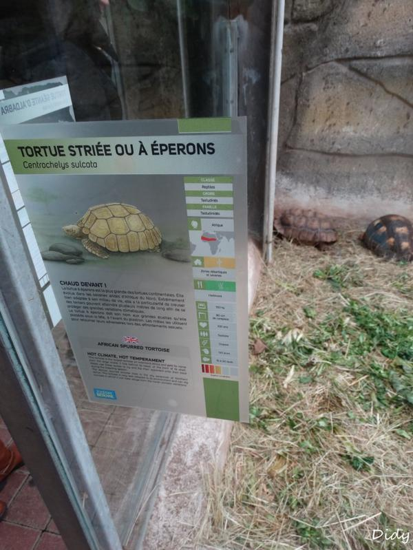 TORTUE STRIEE OU A EPERONS