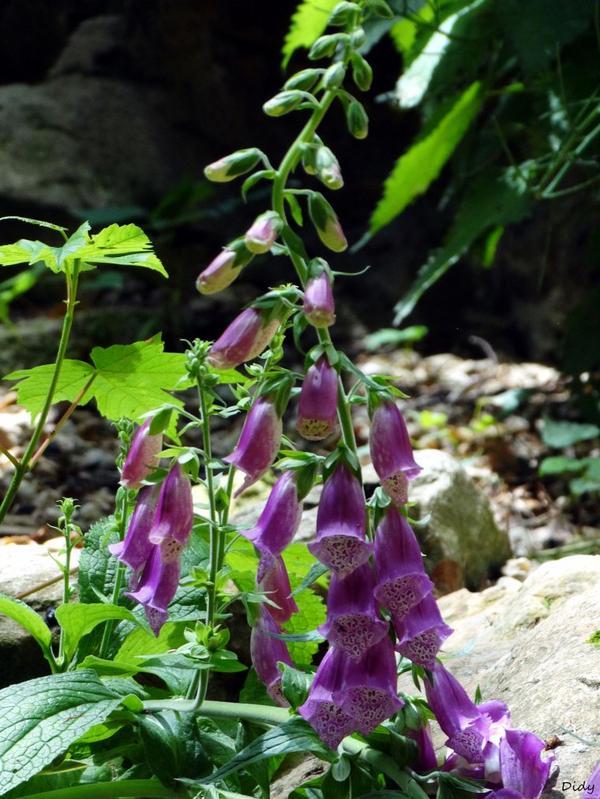 La flore des allées de Beauval - Printemps 2014 suite 6